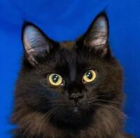 "Young Male Cat - Domestic Long Hair: ""Milan"""