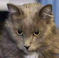 """Adult Male Cat - Domestic Medium Hair: """"Armstrong"""""""