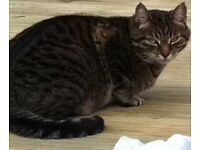 Lost grey / black tabby cat, 11 years old very friendly, his name is Spider