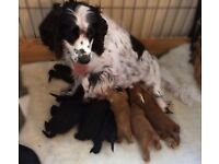 Gorgeous F1B Cockapoo Puppies...home reared