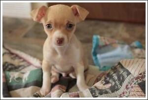 "Baby Male Dog - Chihuahua: ""Bravo"""