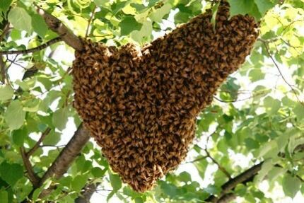 Free bee swarm removal bee keeping. City to north.