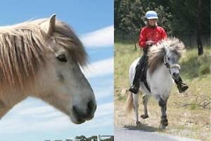 Rare opportunity - pure Icelandic Horse gelding Kyneton Macedon Ranges Preview