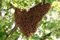 FREE Honey Bee Swarm Removal