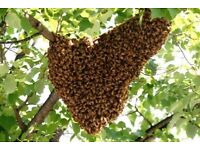 Honey bee swarm collection removal