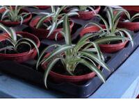 Baby spider plants - free