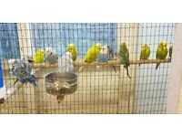 Budgies   Birds for Sale - Gumtree