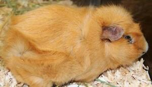 "Adult Male Small & Furry - Guinea Pig: ""Louie"""