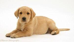 WANTED:Labrador puppy Lynbrook Casey Area Preview