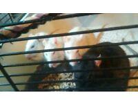 FREE RATS MALES READ AD :)