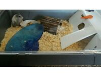 Russian dwarf hamster with the cage and accessories