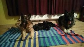 10 gorgeous chunky long haired German shepherd puppies
