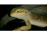 Bearded Dragon and Giant Viv for sale