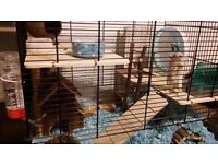 Gerbils - two males