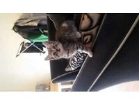 Stunning british shorthair cross kittens