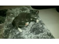 Gorgeous Grey Kitten For Sale
