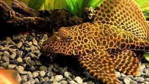 Marbled Sailfin Pleco Armadale Armadale Area Preview