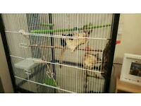 Sugar gliders male and female with cage