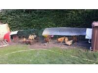 Chickens for sale £ 8 each up to 10 of can be bought separately