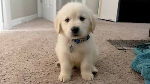 WTB Golden retriever or Alaskan Malamute puppy Gympie Gympie Area Preview