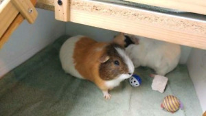 2 guinea pigs need a good home!
