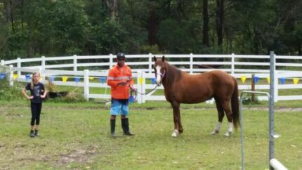 For sale beautiful liver chestnut pony 13.3h Peregian Beach Noosa Area Preview