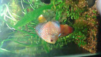 6 red melon discus for sale !