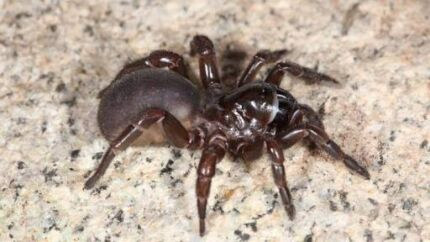 Wanted: Trapdoor spider wanted