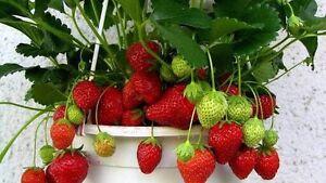 wanted strawberry plants, JASMINE CHINESE EMPEROR sambac, mango tree Wanneroo Wanneroo Area Preview