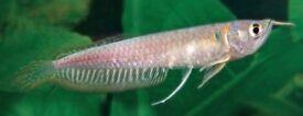 9cm arowana Tropical fish