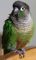 Two Conures DNA Tested & Large Parrot Cage
