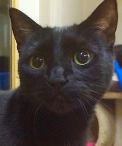 "Adult Female Cat - Domestic Short Hair-black: ""Buffy"""