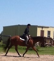 Tb mare hunter/jumper prospect