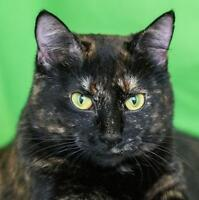 "Young Female Cat - Domestic Short Hair: ""Myrna"""