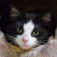"Young Male Cat - Domestic Medium Hair: ""Tyrell"""