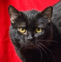 """Young Male Cat - Domestic Short Hair: """"Spooky"""""""