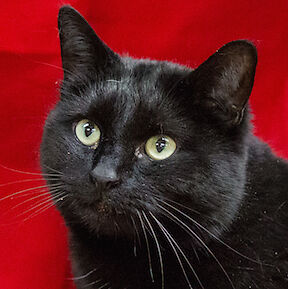 MEOW Foundation's Shy Buddy Toozy Seeks Experienced Home