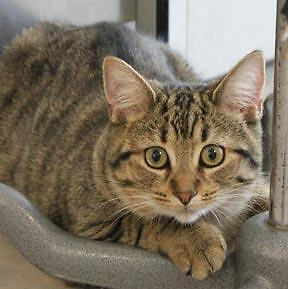 "Young Female Cat - Tabby - Brown: ""Chance"""