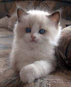 Wanted: Ragdoll Kitten Yarraville Maribyrnong Area Preview