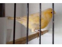 pair of satinette canaries 2015