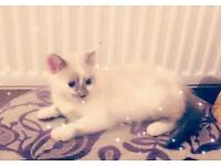 Cute fluffy white ragdoll kitten for sale