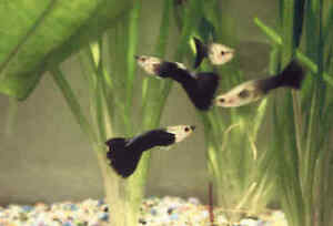 Guppy Black tail