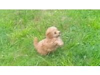 Gorgeous Pedigree Toy Poodle puppies for sale.