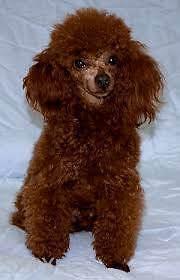 Toy poodle Penrith Penrith Area Preview
