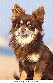 Wanted long haired chihuahua