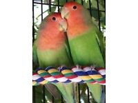 Lovebirds with cage