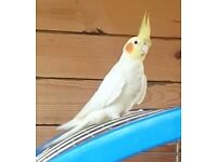 Missing Cockatiel