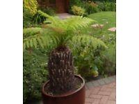 Tasmanian Devil Plant & Large Decorative Pot