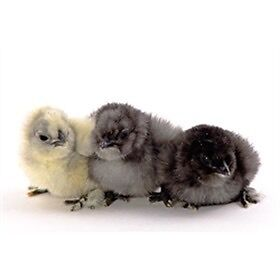 WANTED: DAY OLD SILKIE CHICKS Jimboomba Logan Area Preview