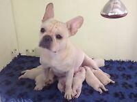 Pedigree Cream French Bulldog Puppies